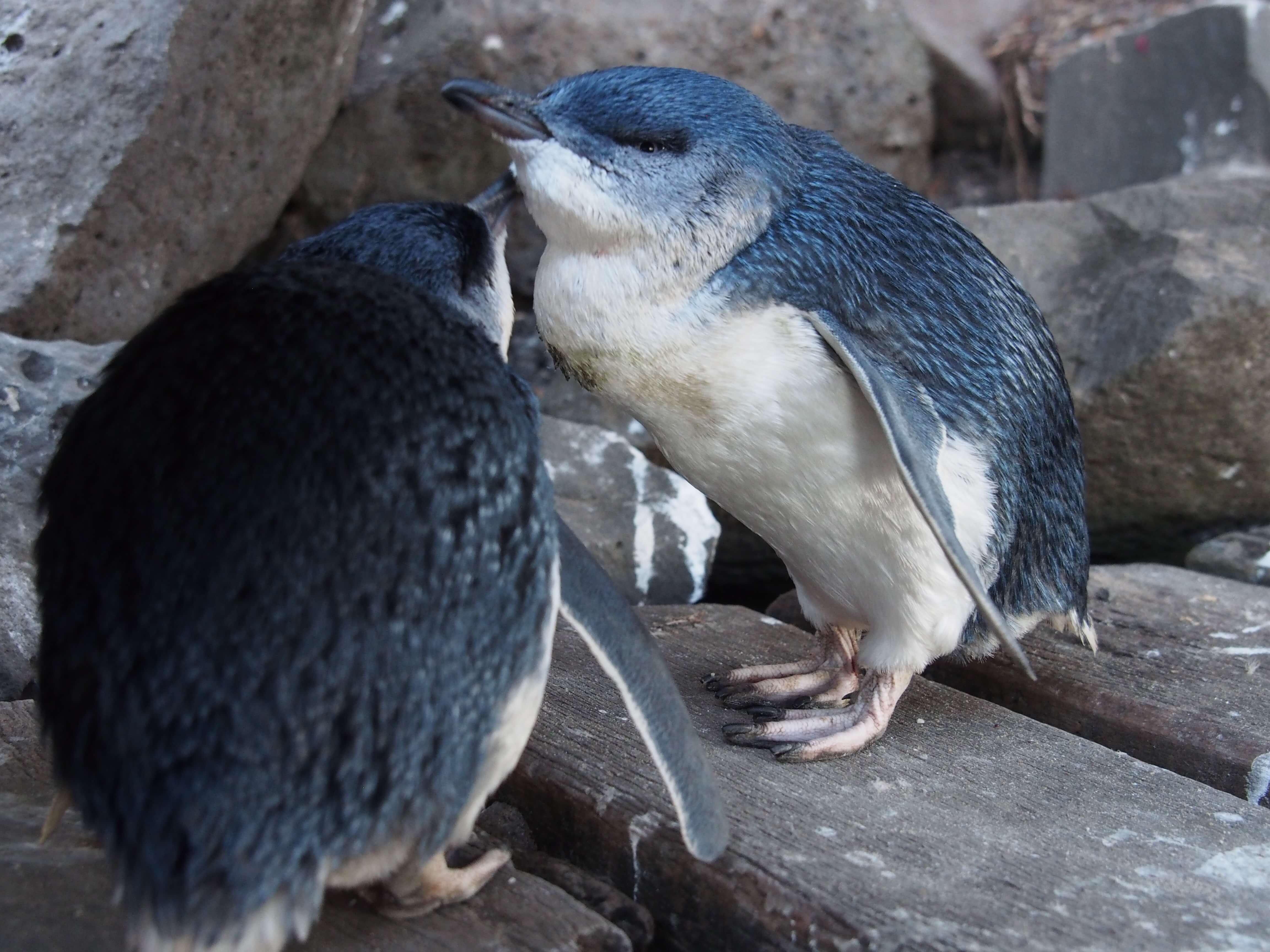 セントキルダビーチペンギン